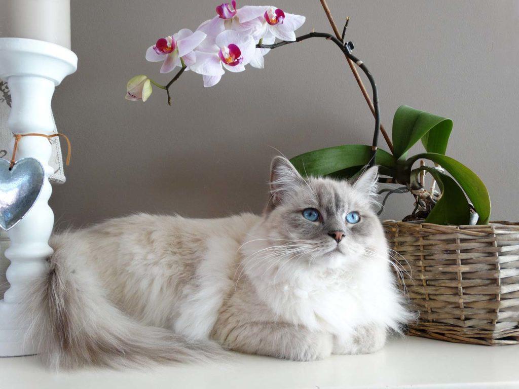 Ragdoll Cat Breed Profile - Pets Happy Hour
